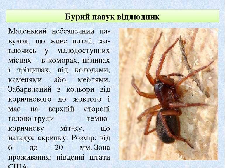 Бурий павук відлюдник Маленький небезпечний па-вучок, що живе потай, хо-ваючи...