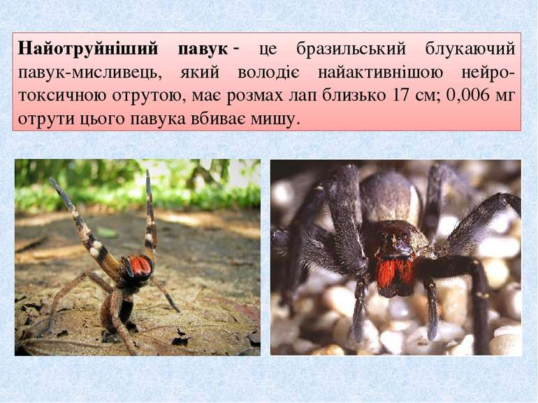 Найотруйніший павук це бразильський блукаючий павук-мисливець, який володіє ...
