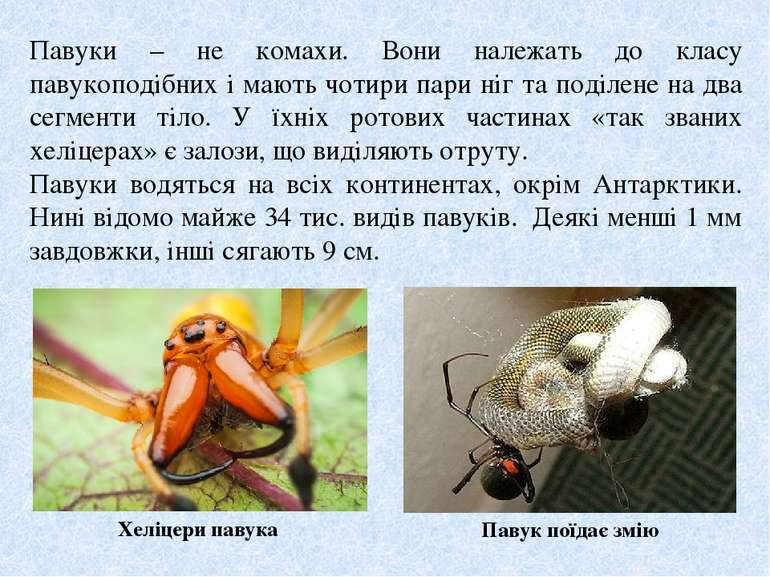 Павуки – не комахи. Вони належать до класу павукоподібних і мають чотири пари...