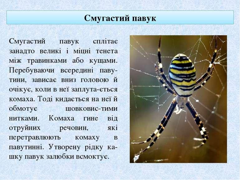 Смугастий павук Смугастий павук сплітає занадто великі і міцні тенета між тра...