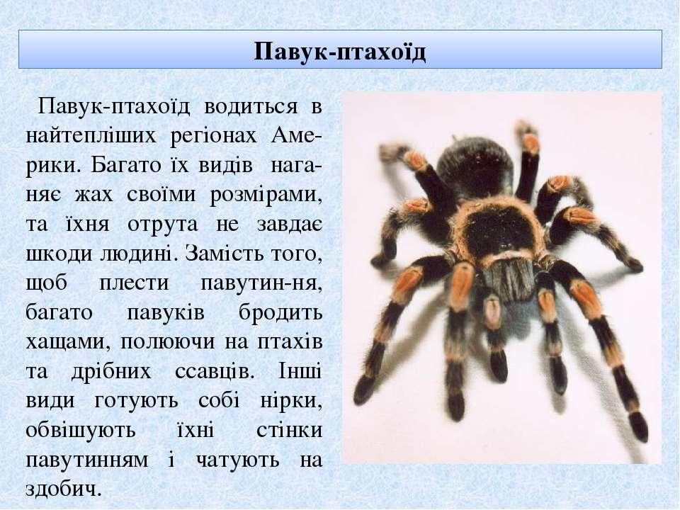 Павук-птахоїд Павук-птахоїд водиться в найтепліших регіонах Аме-рики. Багато ...