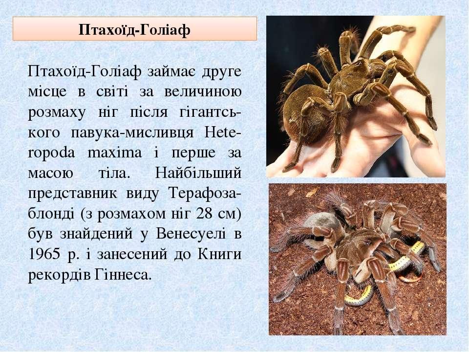 Птахоїд-Голіаф Птахоїд-Голіаф займає друге місце в світі за величиною розмаху...
