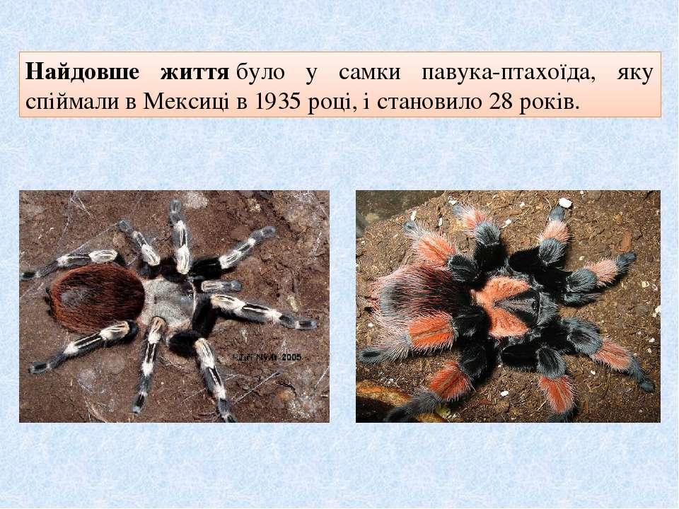 Найдовше життябуло у самки павука-птахоїда, яку спіймали в Мексиці в 1935 ро...