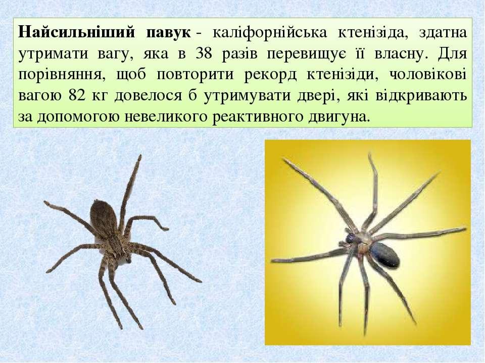 Найсильніший павук- каліфорнійська ктенізіда, здатна утримати вагу, яка в 38...