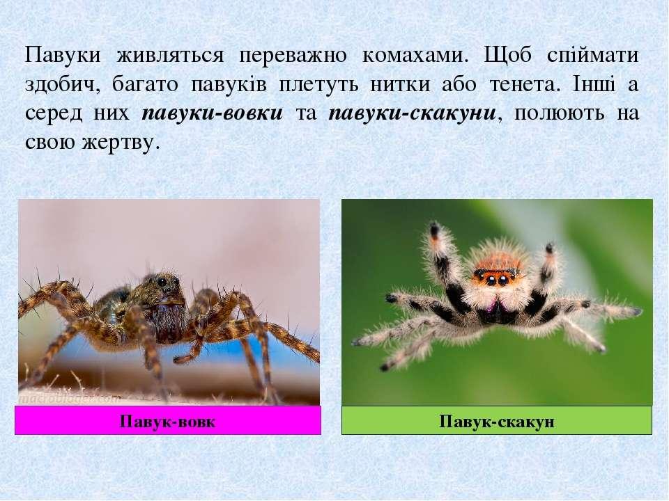 Павуки живляться переважно комахами. Щоб спіймати здобич, багато павуків плет...