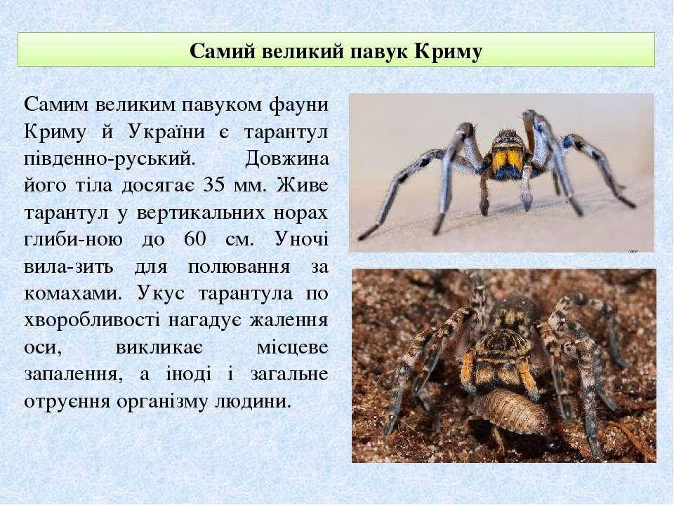 Самий великий павук Криму Самим великим павуком фауни Криму й України є таран...