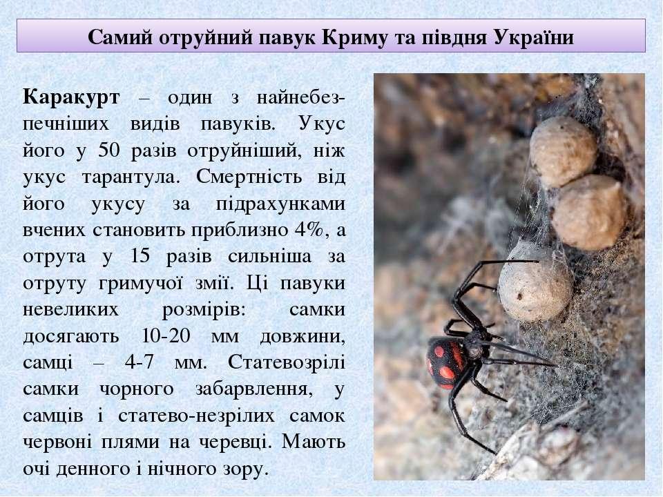 Самий отруйний павук Криму та півдня України Каракурт – один з найнебез-печні...
