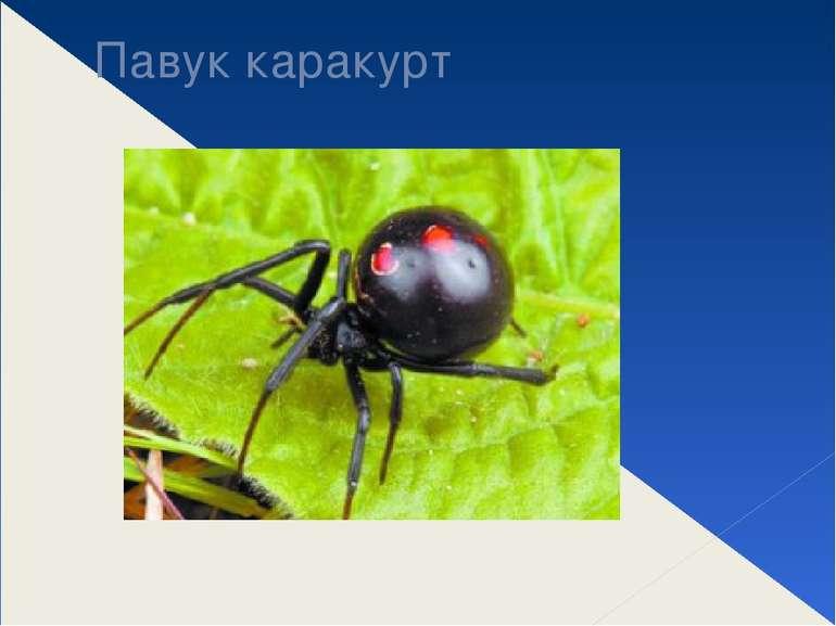 Павук каракурт