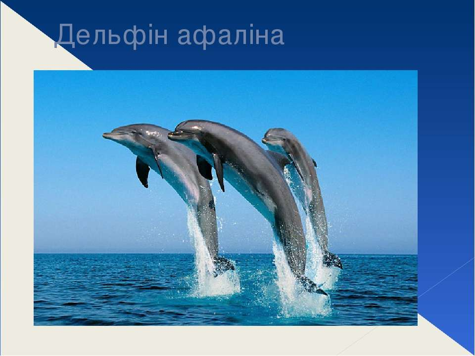 Дельфін афаліна