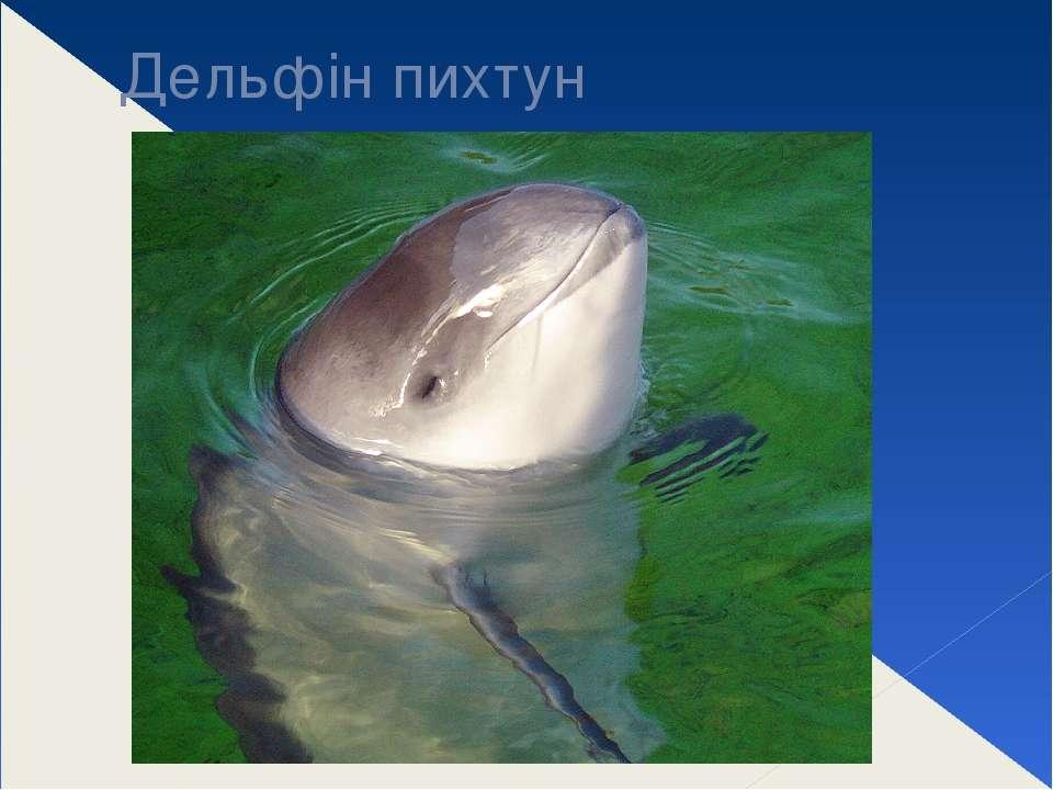 Дельфін пихтун