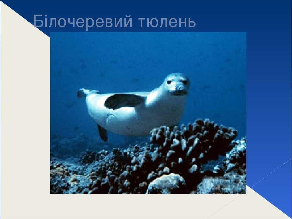 Білочеревий тюлень