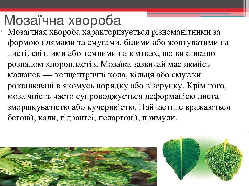 Мозаїчна хвороба Мозаічная хвороба характеризується різноманітними за формою ...