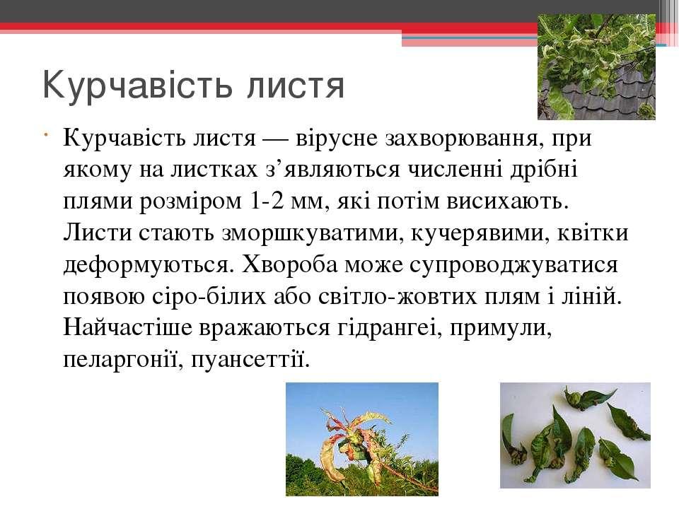 Курчавість листя Курчавість листя — вірусне захворювання, при якому на листка...