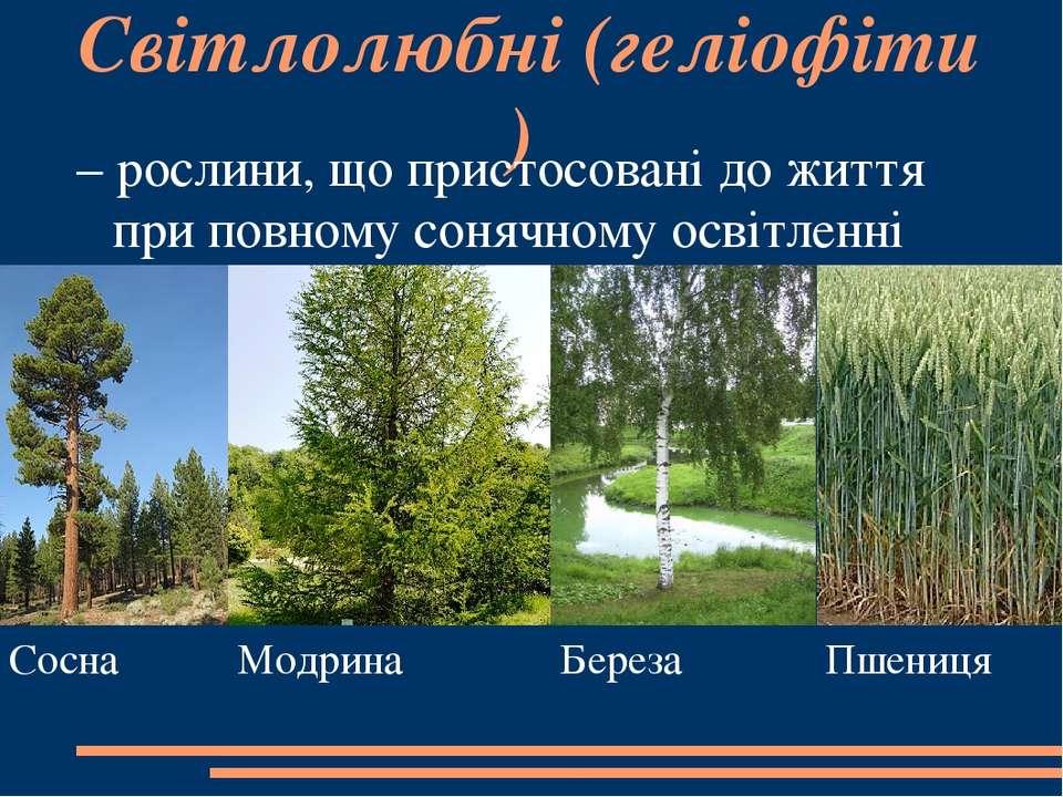 Світлолюбні(геліофіти) – рослини, що пристосовані до життя при повному соняч...