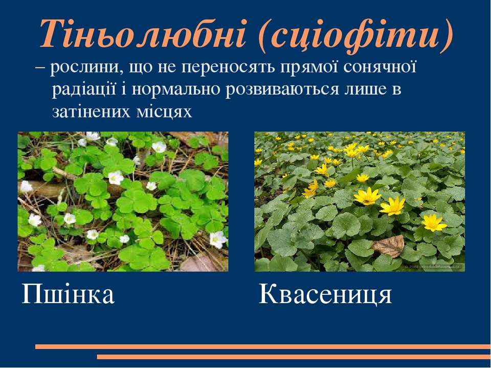 Тіньолюбні(сціофіти) – рослини, що не переносять прямої сонячної радіації і ...