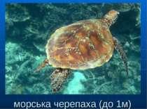 морська черепаха (до 1м)