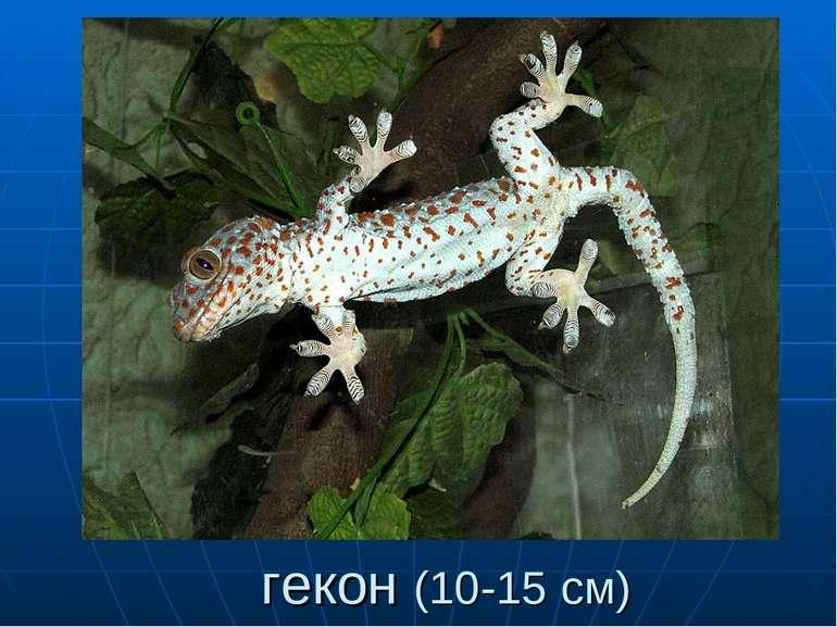гекон (10-15 см)