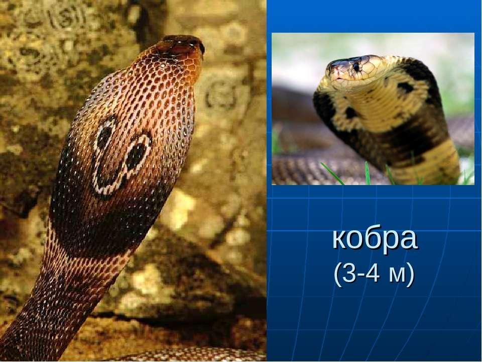 кобра (3-4 м)