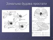 Зональна будова простати Перехідна зона 5% Центральна зона 25% Периферична зо...