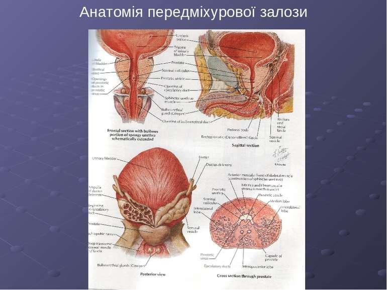 Анатомія передміхурової залози
