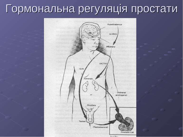 Гормональна регуляція простати