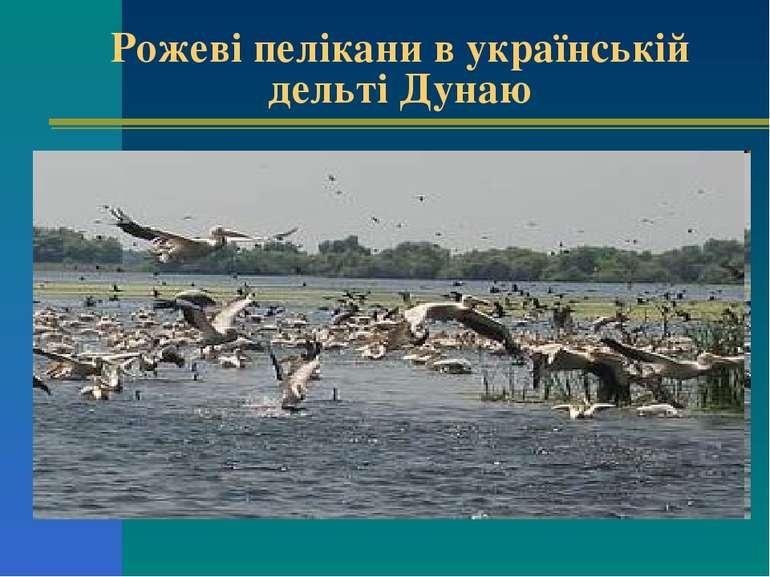 Рожеві пелікани в українській дельті Дунаю