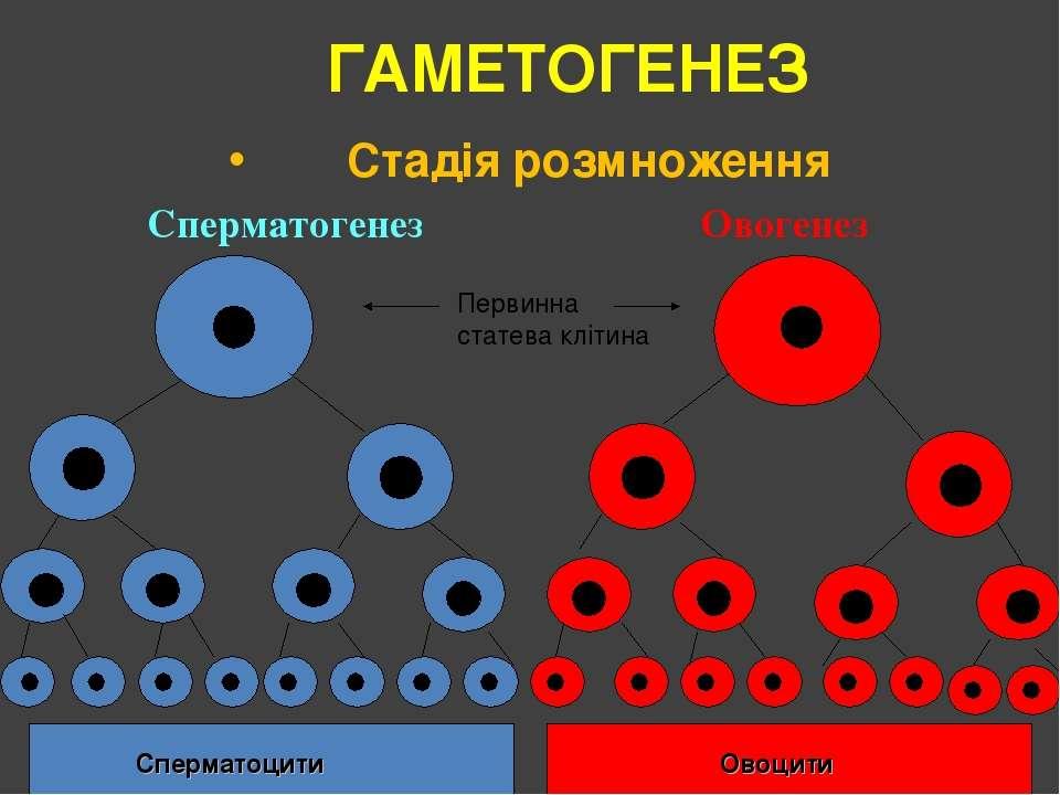 ГАМЕТОГЕНЕЗ Стадія розмноження Сперматогенез Овогенез Сперматоцити Овоцити Пе...