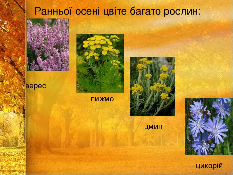 Ранньої осені цвіте багато рослин: верес пижмо цмин цикорій