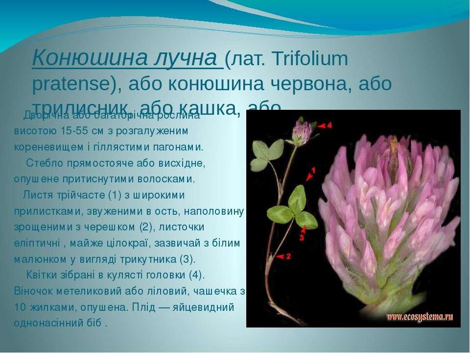 Конюшина лучна (лат. Trifolium pratense), або конюшина червона, або трилисник...