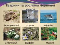 Тварини та рослини Червоної книги Підсніжник Шафран Афаліна Корсак Їжак вухат...