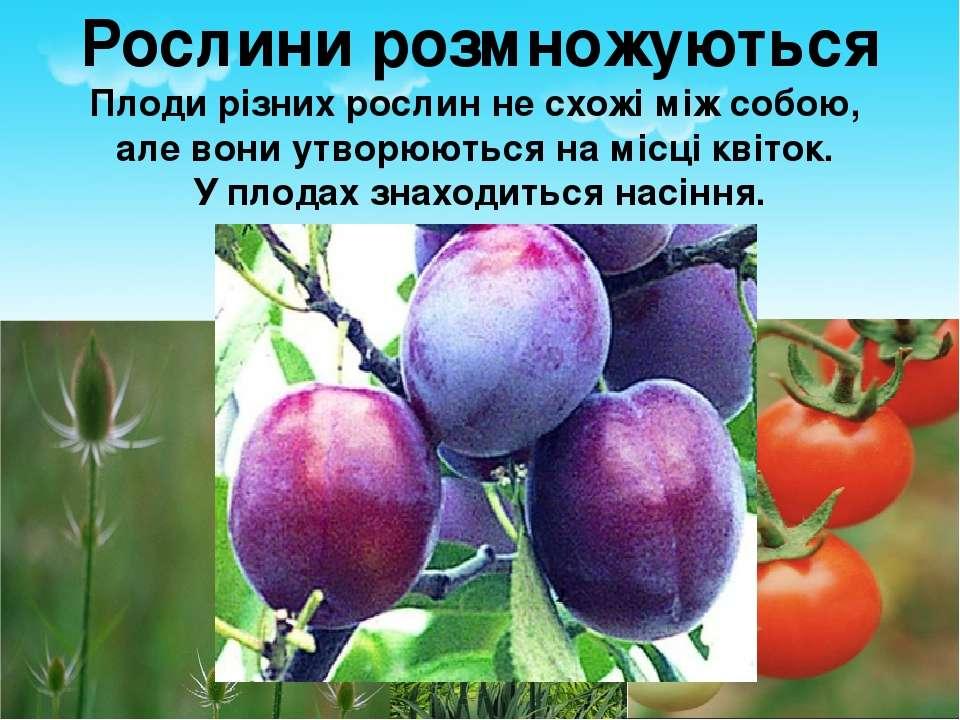Рослини розмножуються Плоди різних рослин не схожі між собою, але вони утворю...