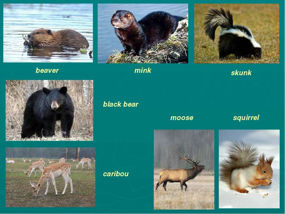beaver mink skunk black bear caribou moose squirrel