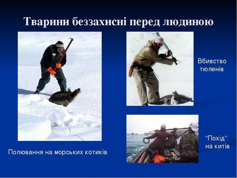 Тварини беззахисні перед людиною Полювання на морських котиків Вбивство тюлен...