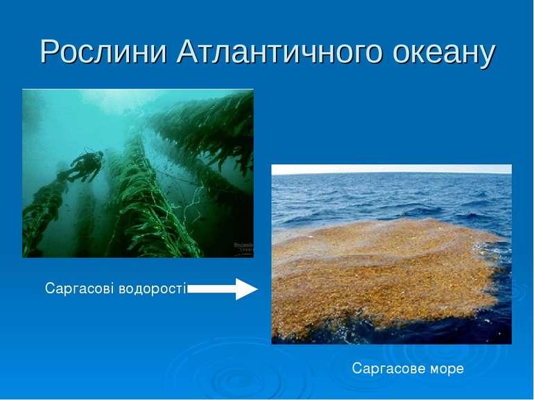 Рослини Атлантичного океану Саргасове море Саргасові водорості