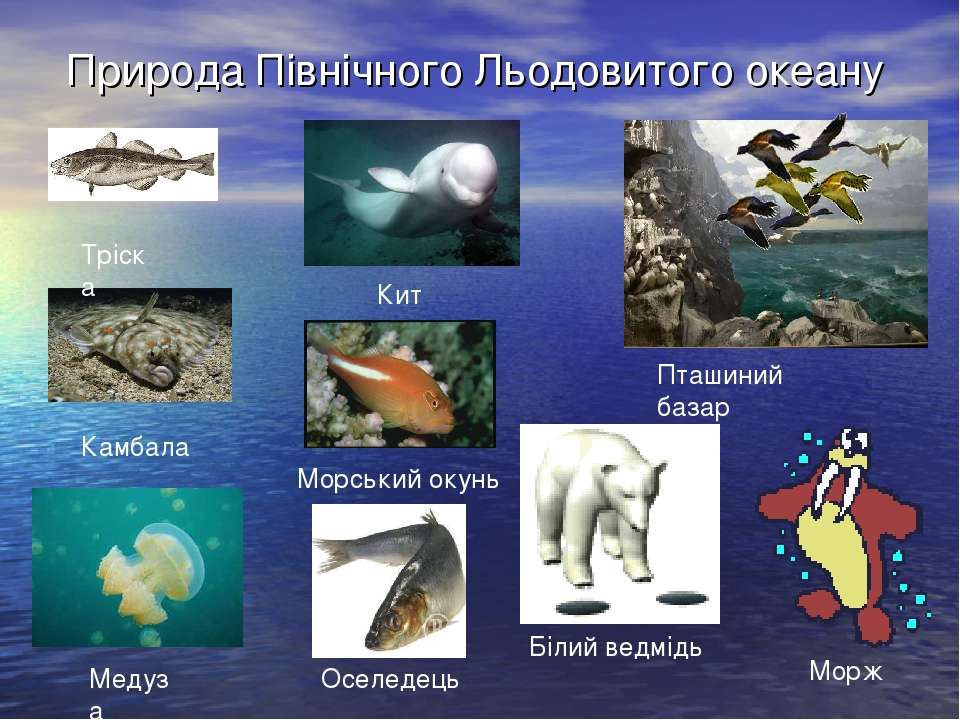 Природа Північного Льодовитого океану Тріска Камбала Медуза Кит Морський окун...