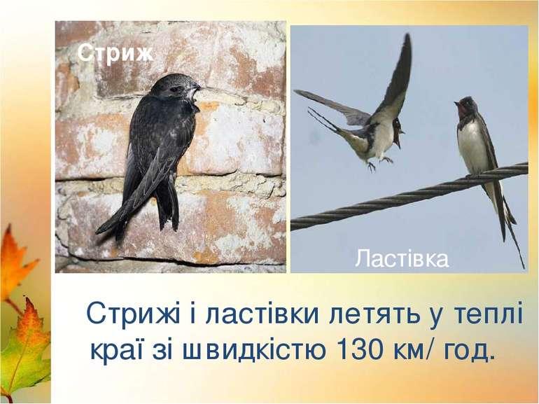 Лебеді Лелека Стрижі і ластівки летять у теплі краї зі швидкістю 130 км/ год....
