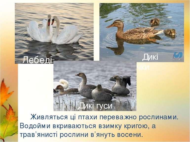 Лебеді Лелека Дикі качки Живляться ці птахи переважно рослинами. Водойми вкри...