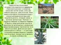 Серед рослин посушливих місцезростань виділяютьсясукуленти –багаторічні рос...