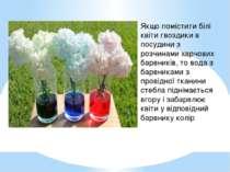 Якщо помістити білі квіти гвоздики в посудини з розчинами харчових барвників,...