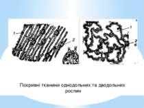 Покривні тканини однодольних та дводольних рослин
