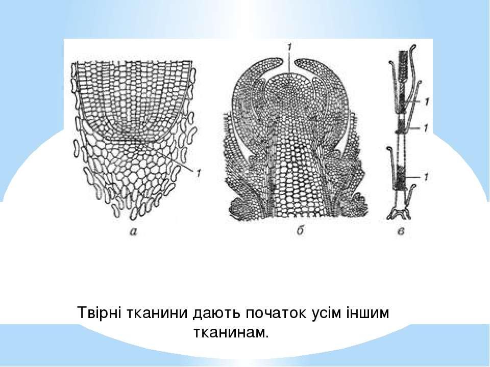 Твірні тканини дають початок усім іншим тканинам.