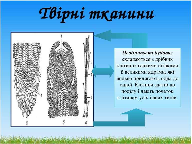 Твірні тканини Особливості будови: складаються з дрібних клітин із тонкими ст...