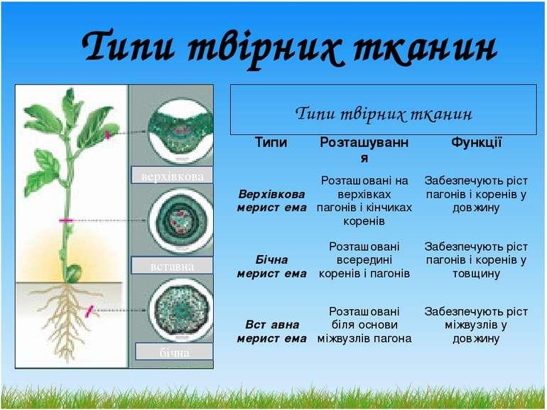 Типи твірних тканин верхівкова вставна бічна Типитвірних тканин Типи Розташув...