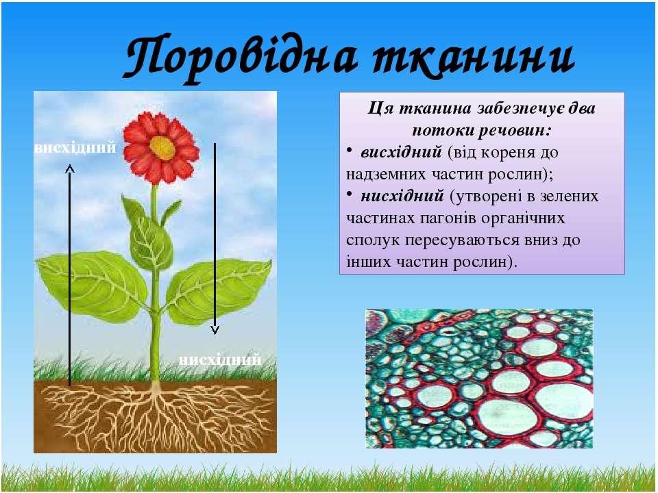 Поровідна тканини Ця тканина забезпечує два потоки речовин: висхідний (від ко...