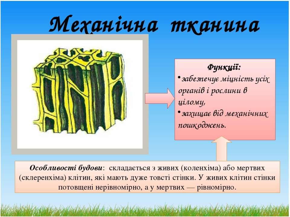 Механічна тканина Особливості будови: складається з живих (коленхіма) або мер...