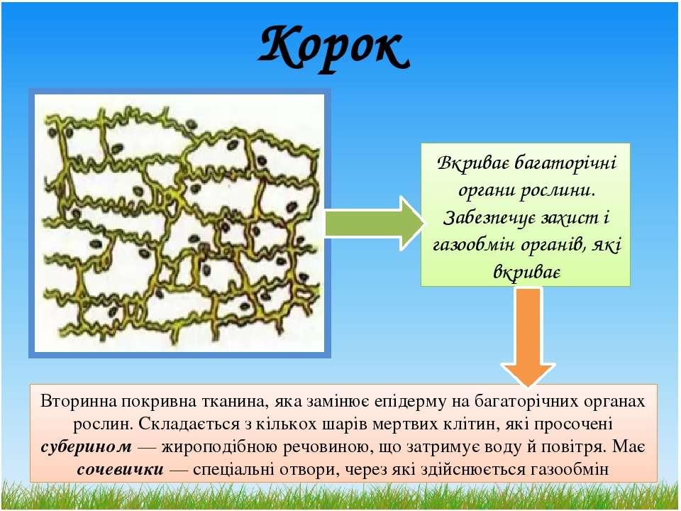 Корок Вторинна покривна тканина, яка замінює епідерму на багаторічних органах...