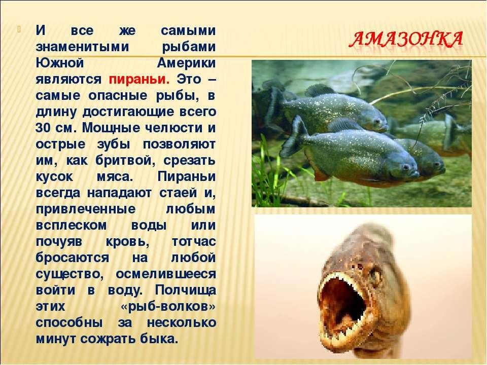 И все же самыми знаменитыми рыбами Южной Америки являются пираньи. Это – самы...