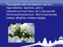 Під шаром снігу та опалого листя у підсніжників, пролісок, рясту з'являються ...