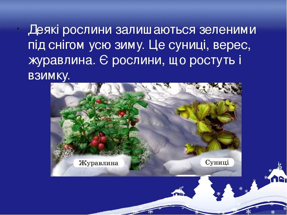 Деякі рослини залишаються зеленими під снігом усю зиму. Це суниці, верес, жур...