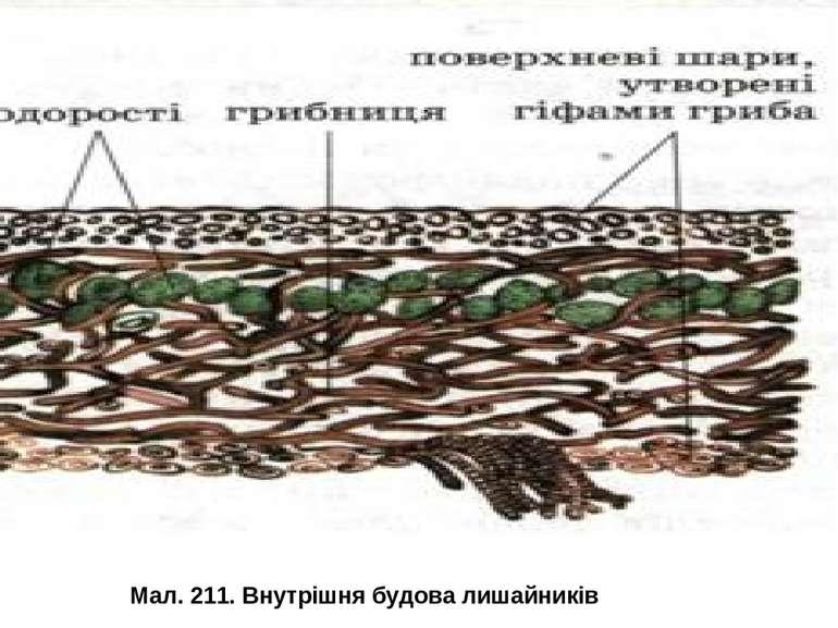 Мал. 211. Внутрішня будова лишайників